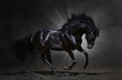 Black Andalusian stallion gallops
