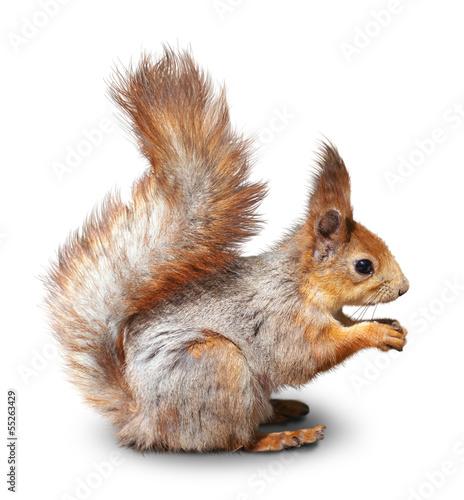 Plexiglas Eekhoorn red squirrel