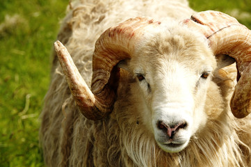 Adult ram sheep in a grass field
