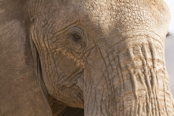 Portrait of african elephant