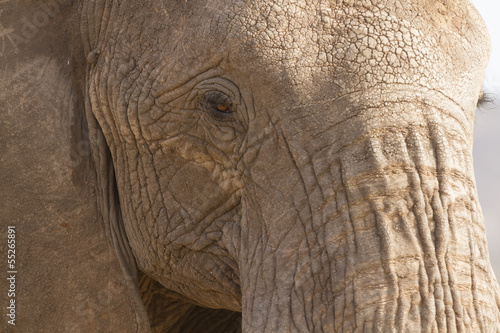 Fototapeta Portrait of african elephant