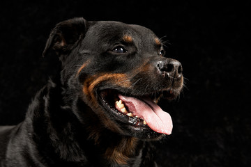 Pure breed rottweiler on black background