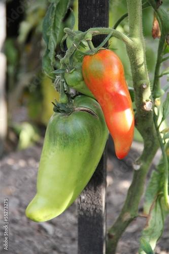 Tomate longue potager