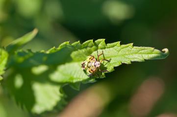 Heteroptera-Pentatomidae: Nezara viridula  - ninfa