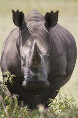 Portrait of  a while rhinoceros