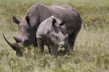 Portrait of white rhinoceros