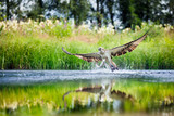 Osprey rising from a lake after catching a fish