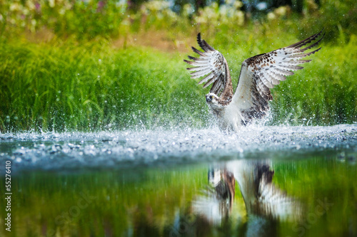 Osprey diving into a lake with spread wings