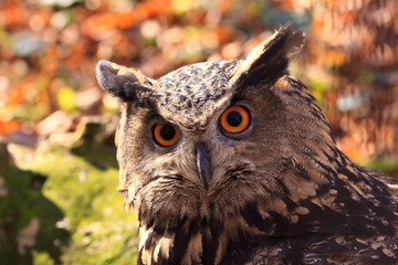 Owls, bird of prey closeup with colorfull eyes, nocturnal animal