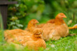 Red Chickens Resting on Green Grass