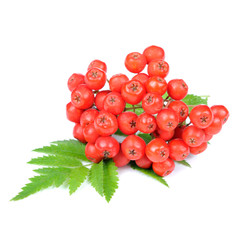 Red Rowan (Mountain-Ash) Berries Isolated on White Background