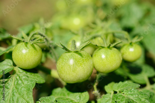 Green unripe tomatoes grow