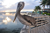 Brown pelican in Ponce (Puerto Rico)