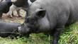 Hängebauchschwein beim Fressen