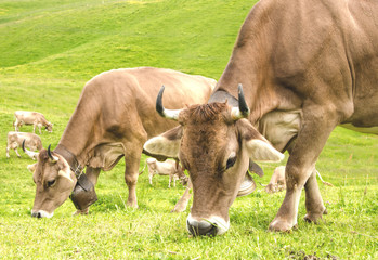 Cows on a summer meadow