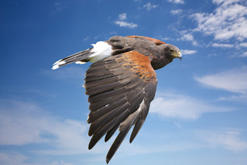 harrier hawk or eagle flying on blue sky