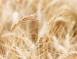 Macro closeup of wheat ear