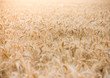 Wheat field with focus in background