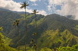 Fototapety Wax palm trees of Cocora Valley, colombia