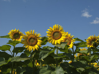 field of sunflowers in the country