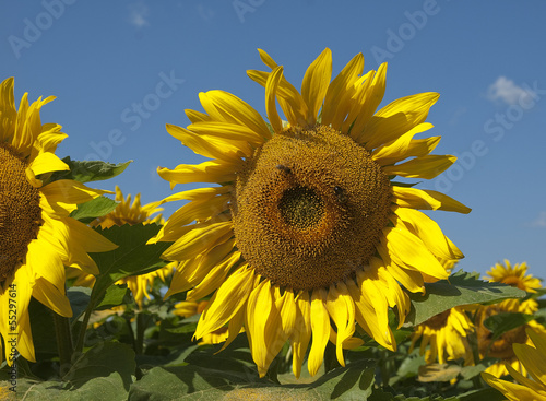 close up of large sunflower in a field