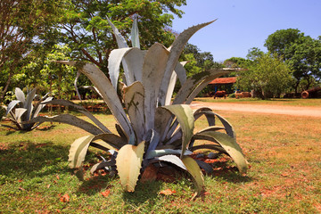 bush of a blue agave on a farm