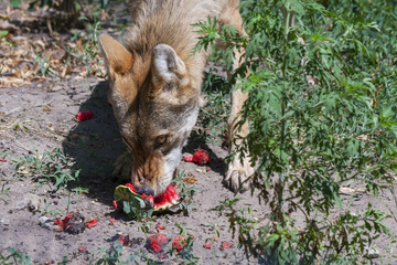Gray wolf (Canis lupus) eats a watermelon