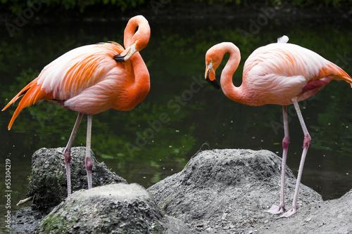 Papiers peints Recifs coralliens Two pink flamingos