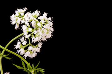 white valerian herb plant  blossom