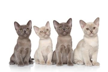 Burmese kittens portrait