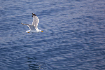 Single seagull with stretched wings