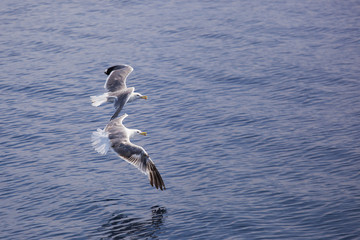 Two seagulls flying over sea