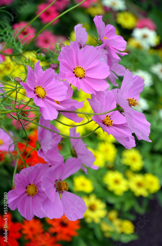 Beautiful purple cosmos flowers