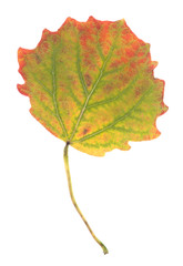 Autumn Aspen, Populus tremula leaf isolated on white background