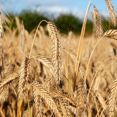 Getreideähren im August