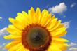 leuchtende Sonnenblume vor blauem Himmel