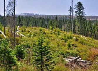 Forest destroyed by bark beetle