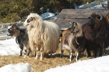 sheep and goat on pasture