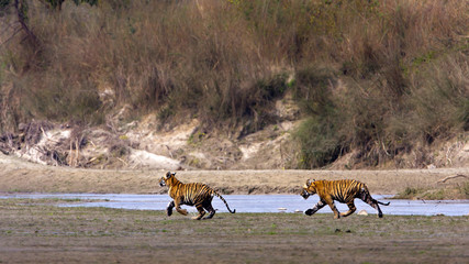 Track race of two young tigers in Nepal