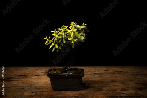 Small bonsai tree in ceramic pot