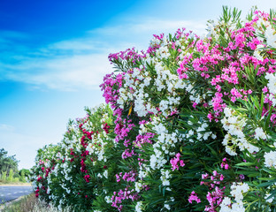 Farbenfrohe Oleander Wand entlang der Autostraße