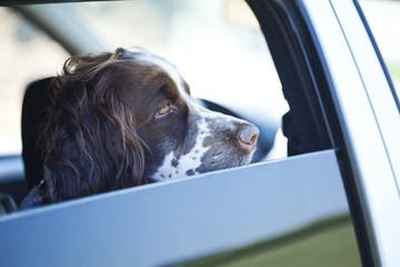 Hund wartend im Auto