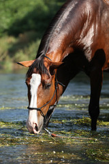 Nice brown horse standing in water