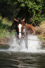 Nice horse with rope halter playing in the water