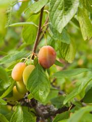 ripening victoria plums
