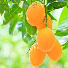 Maprang Marian Plum or Plum Mango of Thailand