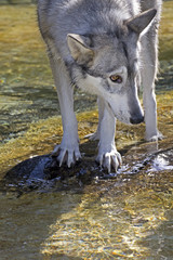 Vertical image of a wolf in a stream looking to the side