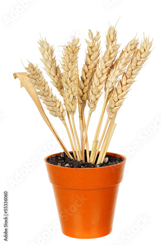 wheat in pot