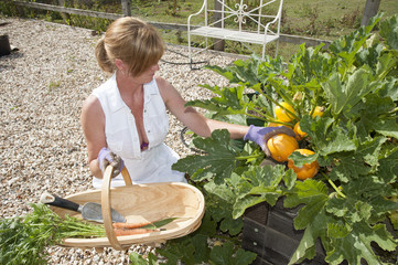 Woman working in garden collecting fresh produce