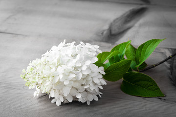 White Hydrangea flower on wooden table. selective focus